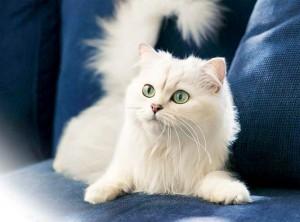 Ангора на диване