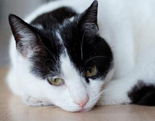 Кот при бронхите