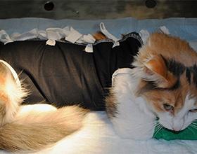 Бандаж для кошки после стерилизации