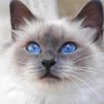 Бирманская кошка: фото и описание