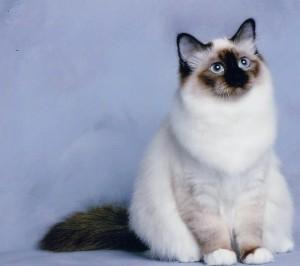 Бирманский кот сидит