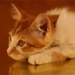 Бронхит у кошек: симптомы, причины и лечение