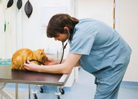 Осмотр кошки ветеринаром