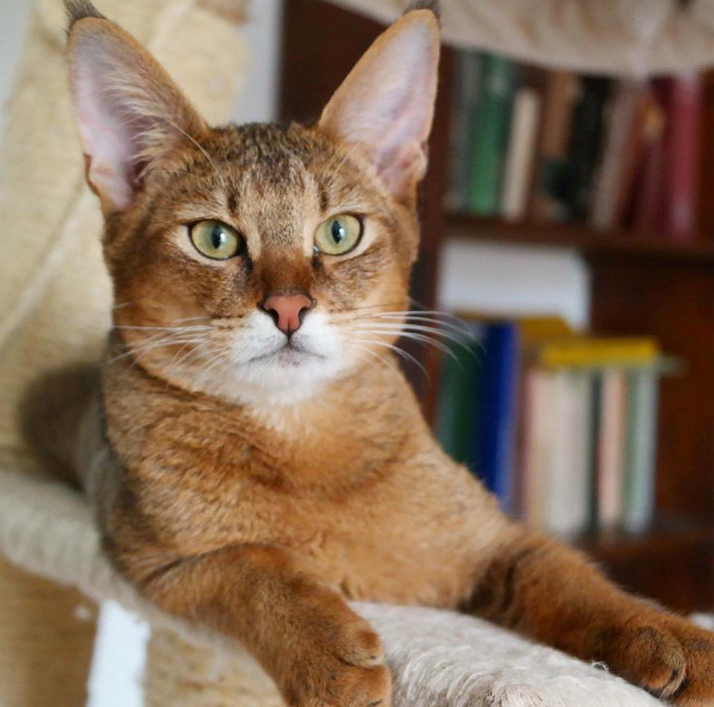 чаузи фото кошки