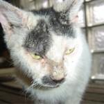 Чесотка у кошек: причины, симптомы и лечение