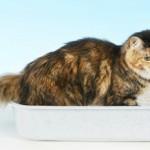 Цистит у кошек: причины, симптомы, виды и лечение