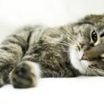 Ложная беременность у кошек: что это, симптомы и как бороться