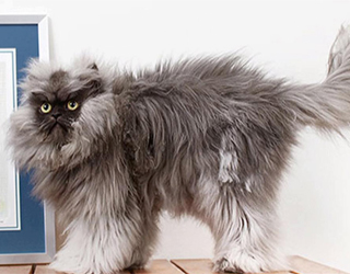 Шерсть гималайской кошки