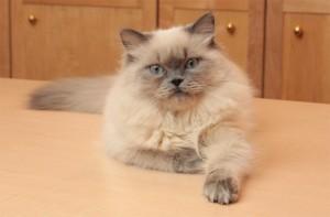 Гималайский кот на кухне