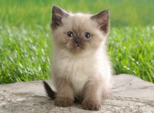 Гималайский котенок