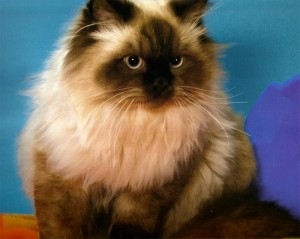 Кот с классической окраской