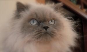 Злой гималайский кот