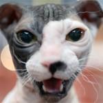 Украинский левкой – порода кошек с причудливой формой ушей