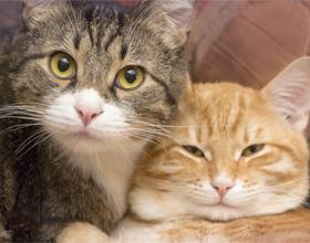 Как подружить двух котов