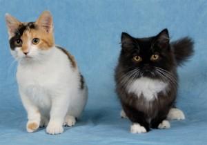 Кот и кошка  манчкин