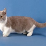 Манчкин: описание породы кошек и фото