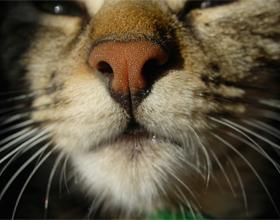 Теплый мокрый нос у кота