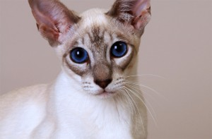 Кошка Охос азулес