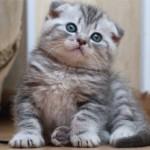 Особенности выбора, ухода и питания шотландских котят