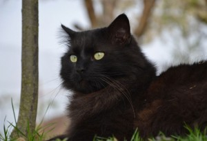 Шантильи и описание породы, Кот и Кошка