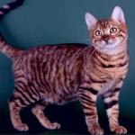 Тайгер: описание и особенности породы