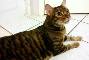 Кошка тайгер