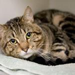 Вирусный перитонит у кошек: симптомы, причины и лечение