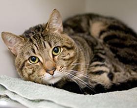 Вирусный перитонит у кошек