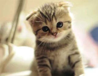 Вислоухий котенок в туалете