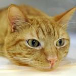 Глисты у кошек: симптомы и лечение
