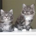Как познакомить и подружить двух кошек, живущих на одной территории