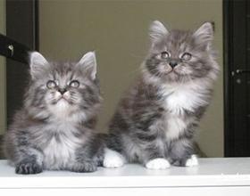Как подружить двух кошек