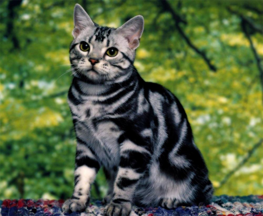 бенгальская кошка фото мраморная