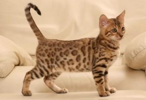 Бенгальский котик дома