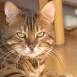 Бенгальская кошка —  описание породы, характер, уход, фото