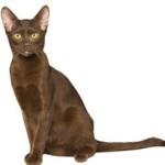 Гавана – описание породы кошек