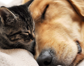 Как подружить кошку с собакой и возможно ли это