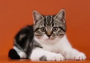 Кот скоттиш-страйт