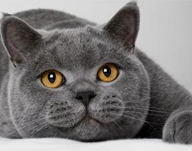 Какой характер коты британцы