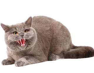 Агрессивный котик