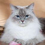 Невская маскарадная кошка: описание породы, характер и фото