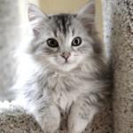 Сибирская кошка — описание породы
