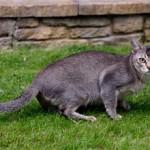 Азиатская табби — величественная и самоуверенная порода кошек