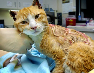 Ожог на коже у кота