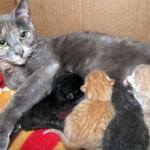 Питание кормящей кошки