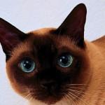 Тайская кошка: описание породы и характер