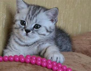 Воспитание британского котенка