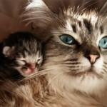 Разведение кошек – что нужно знать и с чего начать?