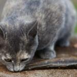 Можно ли кормить кастрированного кота рыбой?