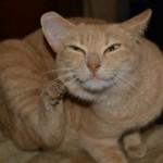 Кот трясет головой и чешет уши: причины и нужно ли беспокоиться